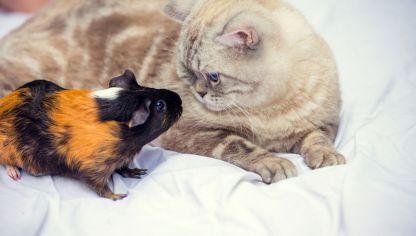 Gatos Y Pequenas Mascotas Pueden Convivir Con Roedores Hurones