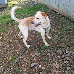 Tillamook Or Grimm Labrador Retriever Pet Adoption Pets