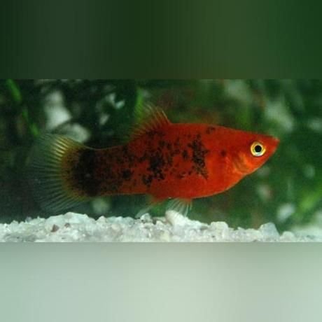 Painted Platy Painting Red Bodies Fish Pet