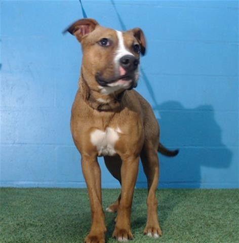 A444932 9mths 39lbs Pitbull Terrier Bull Terrier American Pitbull Terrier