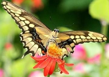 Giant Swallowtail Erfly