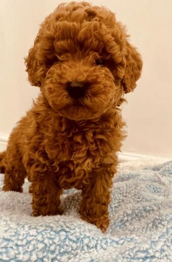 Distinctive Red Toy Poodle Puppies From Health Tested Clear Toy