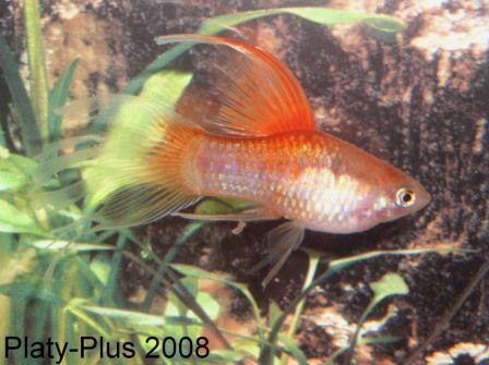 Hifin Platies Variatus With Images Aquarium Fish Planted Aquarium Freshwater Aquarium