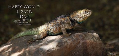 Happy World Lizard Day! Desert Spiny Lizard, Tucson, AZ ©R.C. Clark: Dancing Snake Nature Photography All rights reserved  #arizona, #nature, #photography, #dancingsnakenaturephotography, #reptiles, #lizards, #WorldLizardDay, #desertspiny