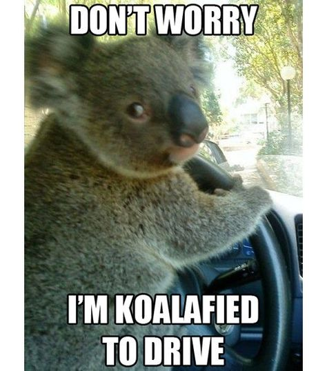 Funny pictures about Chauffeur Koala. Oh, and cool pics about Chauffeur Koala. Also, Chauffeur Koala. Memes Humor, Funny Car Memes, Funny Animal Jokes, Cute Funny Animals, Funny Animal Pictures, Cat Memes, Funny Cute, Funny Koala, Funny Humor