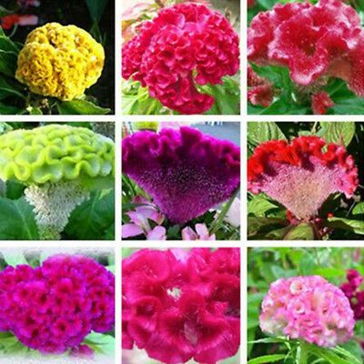 Find Many Great New Used Options And Get The Best Deals For 100 Pcs Mixed Giant Cockscomb Seeds Celosia Cristata Garden Flower De In 2020 Flower Seeds Flowers Plants