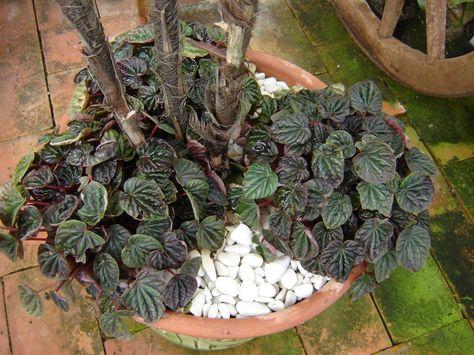 Peperomia Marrom Peperomia Caperata Planta Herbacea Suculentas