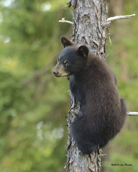 """'Bear Cub #1' - photo by Les-Piccolo, via deviantART; This was taken north of White River, Northern Ontario, Canada of a """"small bear cub as it headed up a tree when it heard [the photographer] approach. He ended up at the top of this 60 foot spruce calling to its mother which was nowhere in sight but probably not far away. After about 10 minutes it came back down and disappeared into the bush."""""""