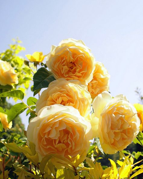 Rose, Graham Thomas, バラ, グラハム トーマス, | by T.Kiya