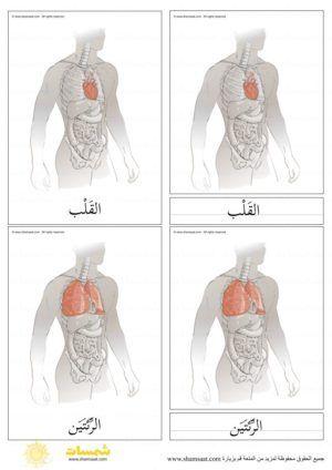 أعضاء جسم الانسان الداخلية بطاقات مطابقة مكونة من ثلاثة أجزاء 2 Atelier Math Art