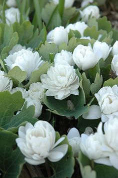 Bloodroot (Sanguinaria canadensis) at The Growing Place