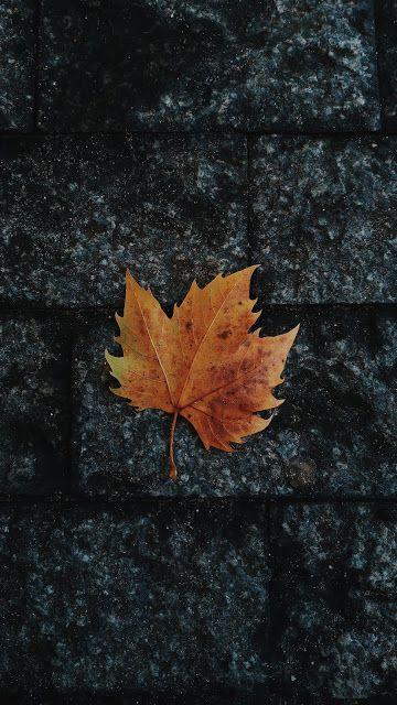 Leaf Maple Fallen In 2019 Autumn Leaves Wallpaper