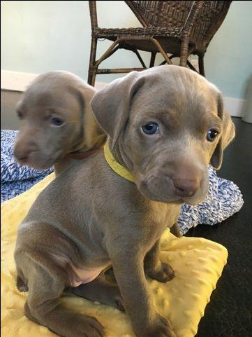 Litter Of 8 Weimaraner Puppies For Sale In Howard City Mi Adn