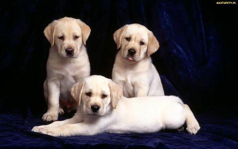 Trzy, Retrievery, Labradory