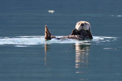 Sea Otter - Kenai Fjords National Park