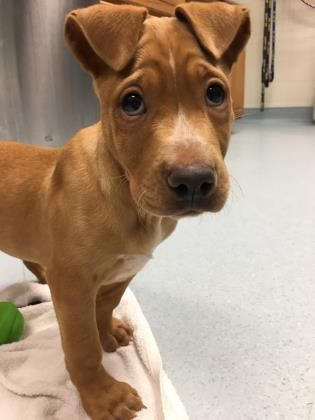 Cutie Scooby Doo And Adoptable Dog Puppy Male Retriever Mix