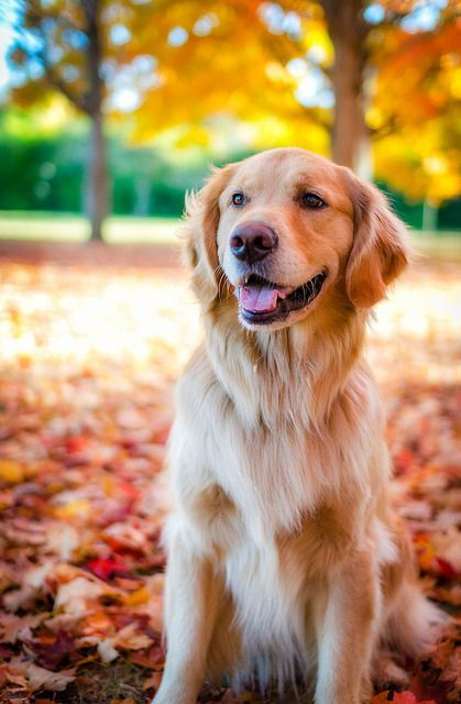 Mowgli Friday Last Midwest Fall Dogs Golden Retriever Dog