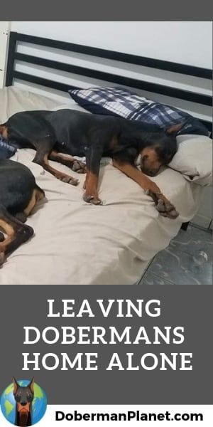 How Long Can You Leave A Doberman Home Alone Doberman Puppy