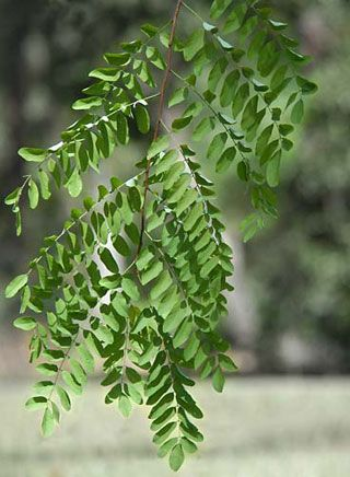 Black Locust Branch Honey Locust Tree Honey Locust Plant Leaves