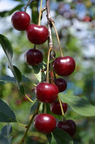 Craig S Crimson Cherry Dwarf With Images Dwarf Fruit Trees Fruit Trees Fruit