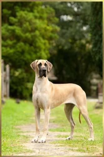 Ch Selmalda Rock Ola Baby Jw Great Dane Dane Dogs