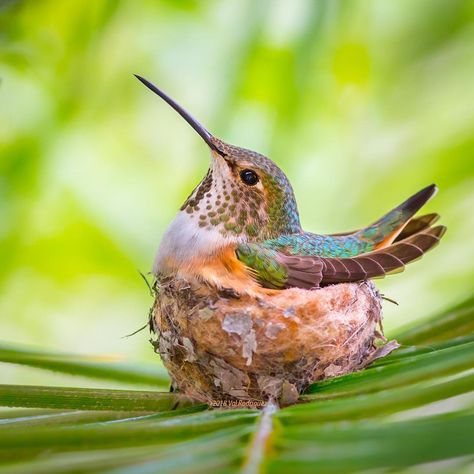 My beloved Lady Allen's hummingbird, the embodiment of sweetness, beauty, and gracefulness💚💛❤️