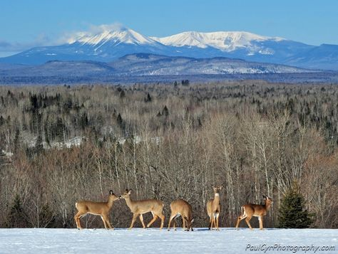 Mt. Katahdin Maine and a group of Deer.  Paul Cyr Photography:  http://www.crownofmaine.com/paulcyr/olympus-daily-photos/