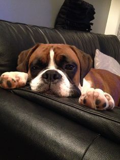 Puppy Boxer Dog Taking A Rest Boxer Dogs Boxer Puppies