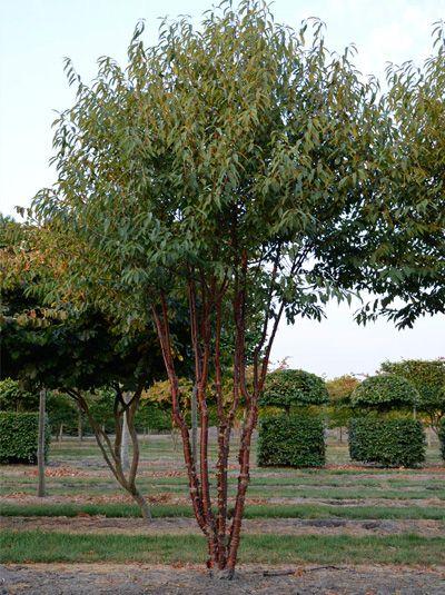 Prunus Serrula Branklyn Zierkirsche Branklyn Schirmform