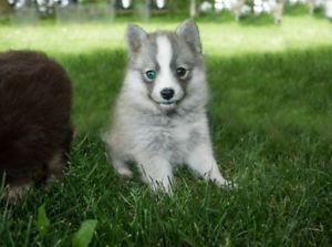 Blue Eyed Pomsky Puppies Ready To Go Pomsky Puppies Puppies