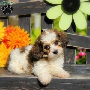 Tucker Cavachon Puppy For Sale In Pennsylvania Cavachon Cavachon Puppies Puppies For Sale