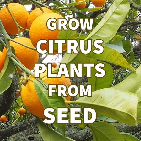 Grow Citrus Trees from Seed