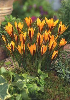 Angustifolius Flowers Crocus Trillium Bulb Flowers Crocus Bulbs Flowers
