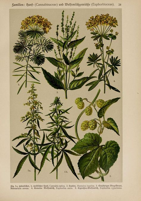 Botanical Herb Medicinal Lemon 179 Vintage Art Print//Poster