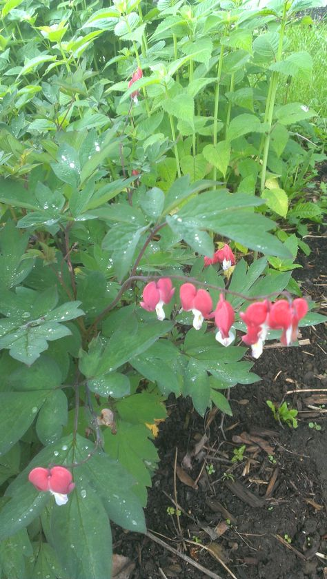 May 30 Dicentra Spectabilis Valentine Bleeding Heart Unlike Most Bleeding Hearts The Flowers Are A Cherry Red Instead Bleeding Heart Plants Small Garden