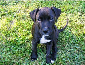 Boxador Boxador Puppies Pitbull Mix Puppies Boxer Lab Mix Puppies