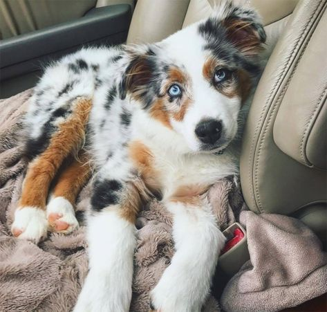 30 Outstanding Names For Australian Shepherd Dogs - Dogtime Do you have a fast paced life or love the great outdoors? Do you need a high energy dog that thrives on staying active? The Australian Shepherd may be the perfect dog for you! Mini Australian Shepherds, Australian Shepherd Puppies, Aussie Puppies, Cute Dogs And Puppies, Blue Merle Australian Shepherd, Doggies, Aussie Shepherd Puppy, Australian Dog Names, Mini Aussie Puppy