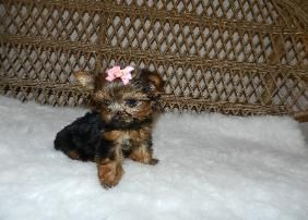 Precious Yorkie Puppies For Sale Teacup Puppies Tiny Teacup