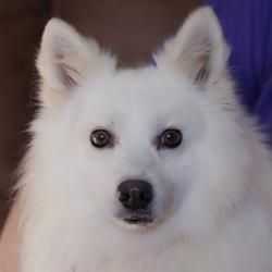 Colorado Springs Co American Eskimo