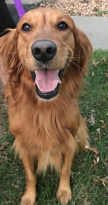Is This Your Dog Blaine Irish Setter Male Date Found 05 09 2018 Breed Of Dog Irish Setter Gender Male Closest Intersection Losing A Dog Dogs Dog Ages