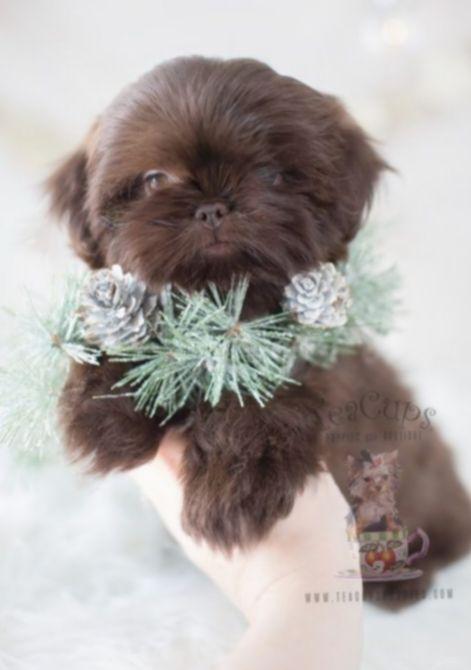 Cute Puppies Teacup Shih Tzu Aderitacristina Miniensaio