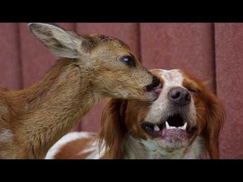 Rehkitz Kuschelt Mit Hund Youtube Mit Bildern Rehkitz Hunde