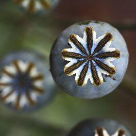 poppy seed pods by James Drury - Modern