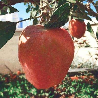 8 10 To 20 F Edible Garden Plants Garden Flowers The Home Depot In 2020 Fruit Plants Planting Herbs Raspberry Plants