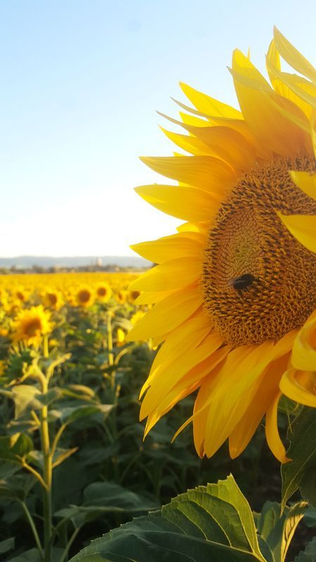 Girasole Or Sunflowers Of Tuscany Outside Castiglion Fiorentino