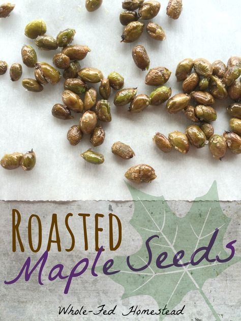 Healthy Snacks Roasted Maple Seeds - Hmm, eat all those helicopter seeds that cover the patio! - Yes, you can eat maple seeds! Roasted Maple Seeds are a unique and healthy seasonal treat that are fun to forager for, as they are often in your own yard. Maple Tree Seeds, Edible Wild Plants, Edible Food, Survival Food, Homestead Survival, Survival Guide, Wild Edibles, All Nature, Medicinal Plants