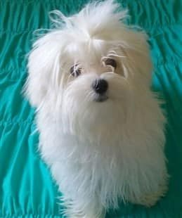 Fluffy Maltese Dog Aqua Color Background Maltese Dogs Maltese