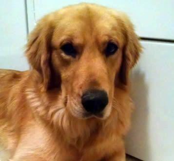 Adopt Logan 2 On Dogs Golden Retriever Golden Retriever