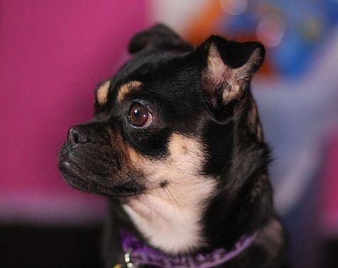 Chug Girl Black Fawn Darling Pugs Chihuahua Chugs