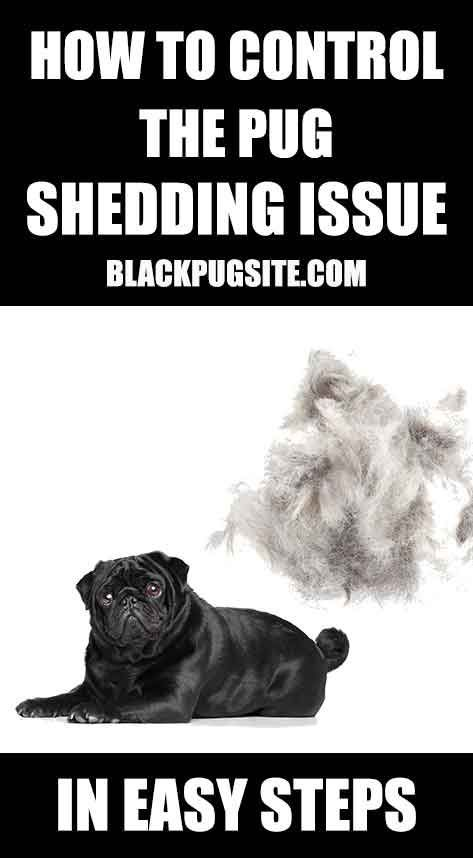 You Ll Be Amazed At How Much Pugs Shed And How To Stop It Do
